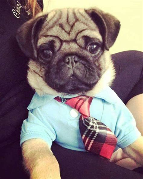 business pug business pug quot you can pet me now thank you quot mopper dyr