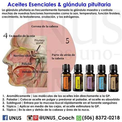melaleuca uso interno 3527 best images about essential oils on