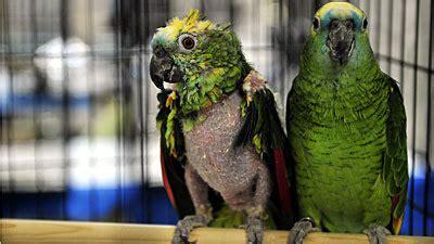 parrot rescue parrots taken from breeding mill in