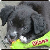 border collie pug mix puppies fort wayne in border collie pug mix meet oliana a puppy for adoption