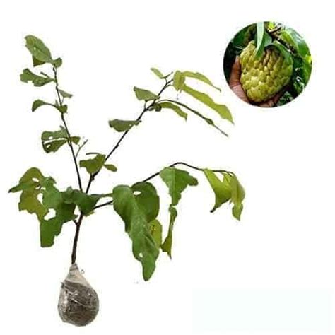 Bibit Srikaya Jumbo jual tanaman srikaya jumbo bibit
