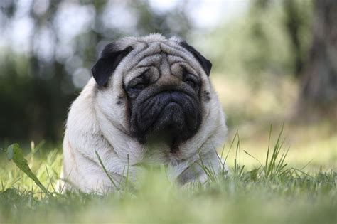 information about pug 1000 ideas about facts about pugs on pug facts pugs and pug puppies
