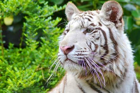 white tiger wallpapers screensavers  wallpapersafari
