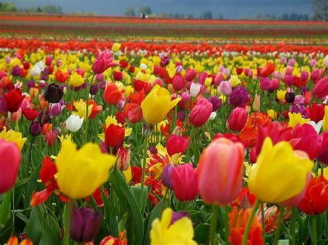 significato dei fiori tulipano tulipano bianco significato significato fiori regalare