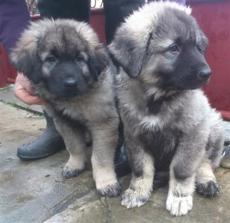caucasian shepherd puppies caucasian shepherd puppy edinburgh midlothian pets4homes