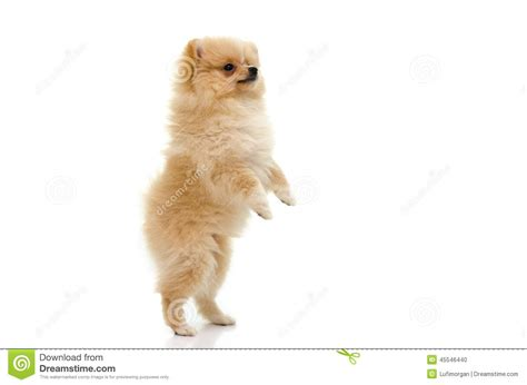 standing pomeranian puppy of pomeranian standing with two legs on white backgro stock photo image