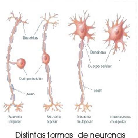 imagenes de neuronas sensoriales quot el cerebro quot