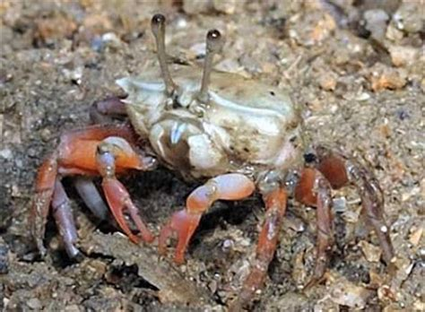 wildfilms fiddler crabs