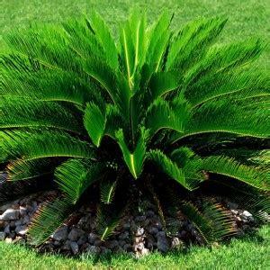 cycad sago palm   plants garden supplies