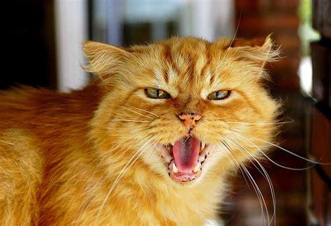 red cat wallpaper kota damansara 10 ciekawostek o kotach kt 243 rych nie znasz kar ma pl