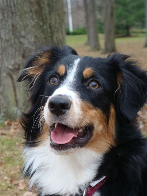 tri color aussie aussies all kinds of and of on