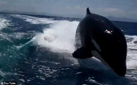 like a boat out of the blue terrifying moment a pod of 20 killer whales follows boat