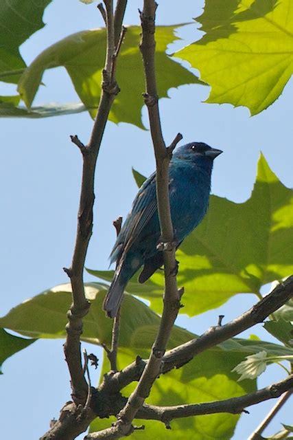 what do indigo bunting birds eat