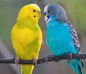 gabbia cocorita allevamento cocorite cania pappagalli cilento