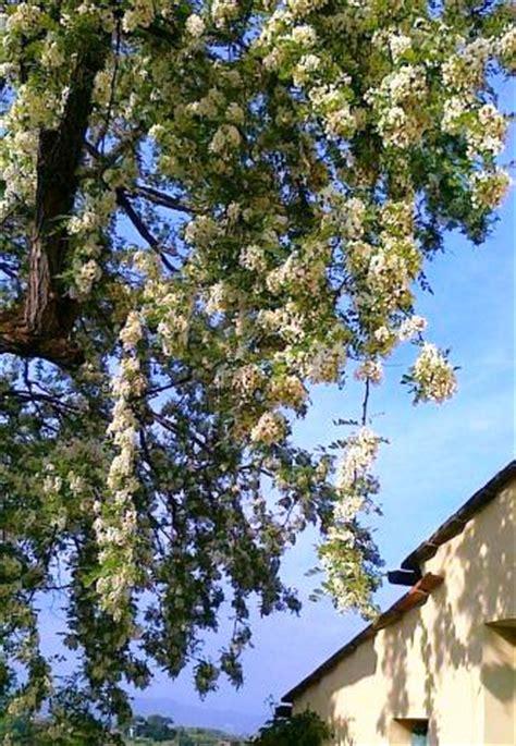 frittelle con fiori d acacia frittelle dolci di fiori d acacia e fiori di zucca alla