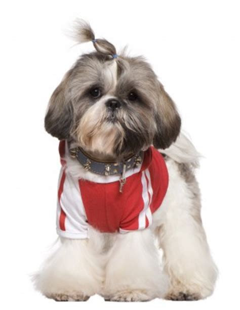 all about shih tzu breed shih tzu breed information guide all about shih tzus