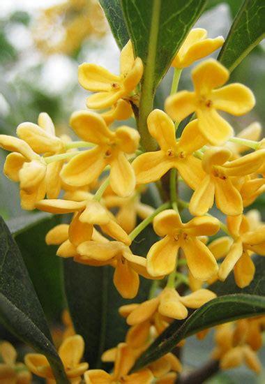 fiori di osmanto osmanto dalla cina con extrait