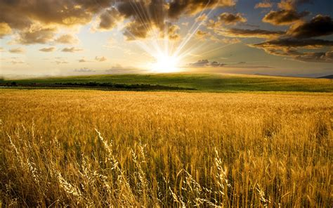 beneath the summer sun an every amish season novel books wheat field the summer sun wallpapers and images