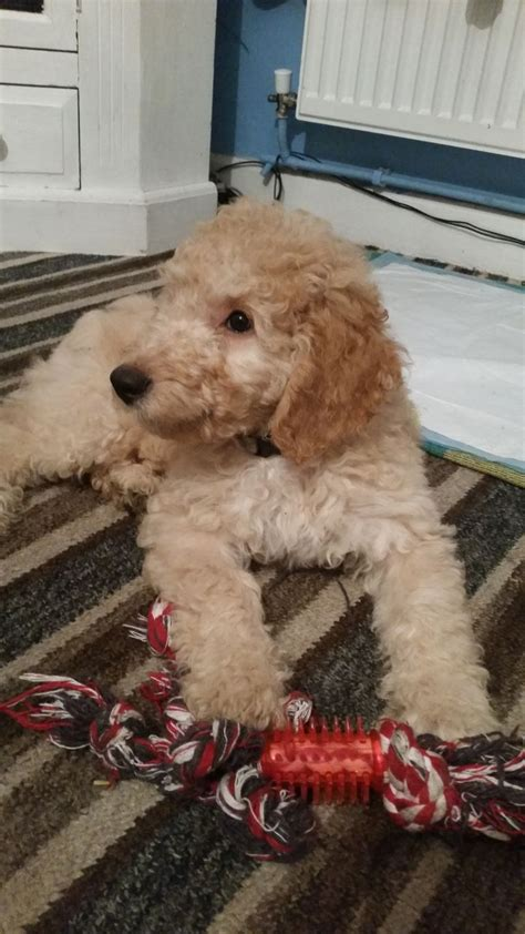 mini labradoodles kent curly miniature labradoodle puppy for sale ramsgate