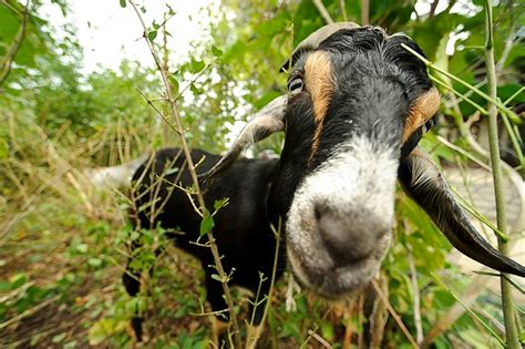 get your goat rentals green rental report rent goats now i ve herd it all