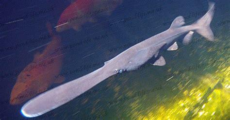 Polyodon Spathula paddlefish polyodon spathula sturgeons pond
