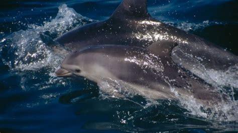 bay boats to avoid bay boaters urged to avoid dolphin calves