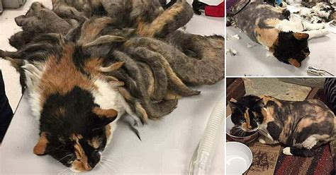 abandoned cat with 2 pounds of matted fur gets rescued