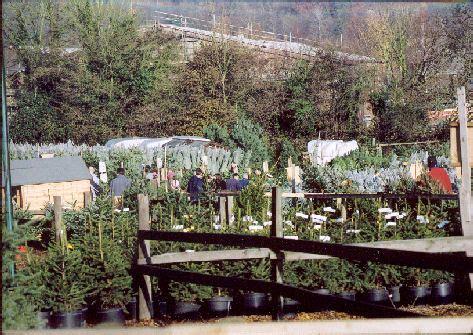 christmas tree farm chesham near london fresh christmas