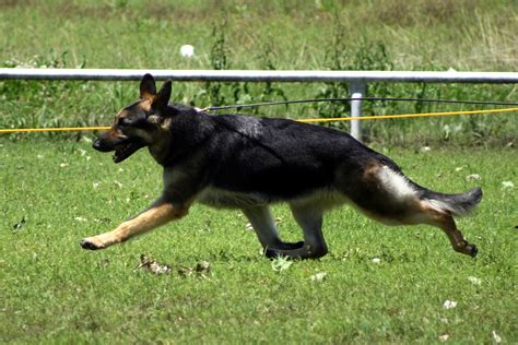 american german shepherd german shepherd breeder breeds picture