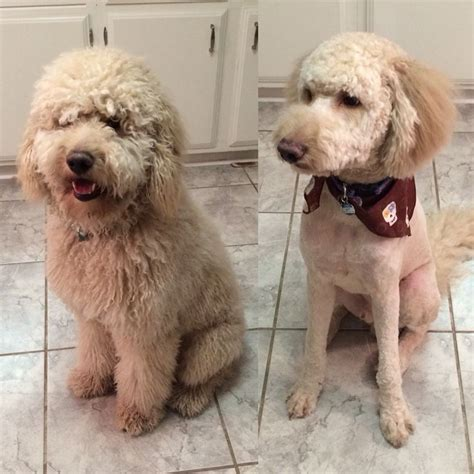 goldendoodle grooming puppy cut goldendoodle before and after grooming doodle