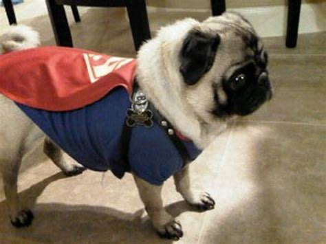 why do pugs pop out 15 cutest pug costumes profascinate