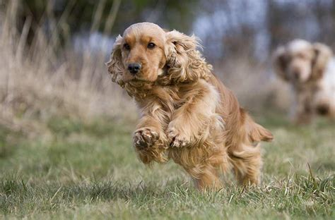 golden cocker retriever uk golden cocker retriever is this the ideal family pet