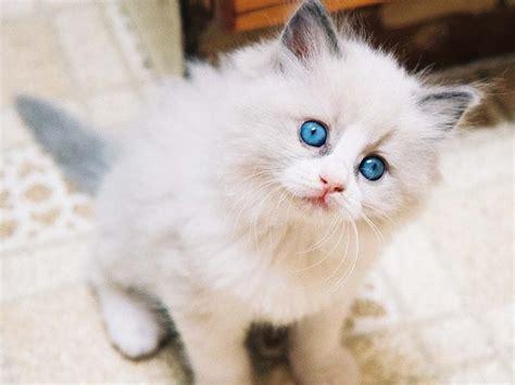 terpercaya 12 ciri ciri ras kucing anggora yang asli kucingpedia