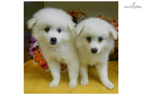 american eskimo puppy price american eskimo puppy for sale near 0d883e5b 94d1