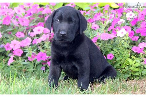 black lab puppies for sale in pa buddy black lab black labrador retriever for sale in lancaster pa