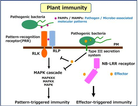pattern recognition receptors in plants and effectors in microbial pathogens 研究内容kawasaki