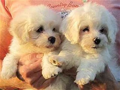 havanese club of america accent havanese our home page