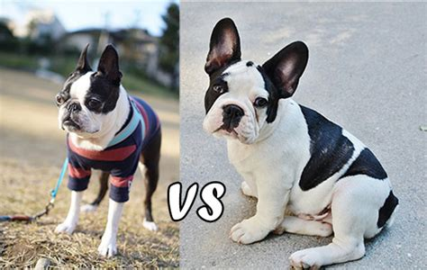 pomeranian vs terrier boston terrier vs bulldog uncovering the similarities differences with these