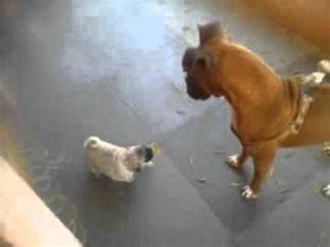 pug fight boxer vs pug fight funnydog tv