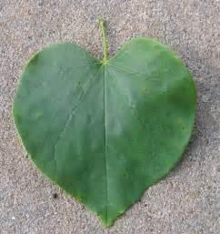 redbud leaf flickr photo sharing