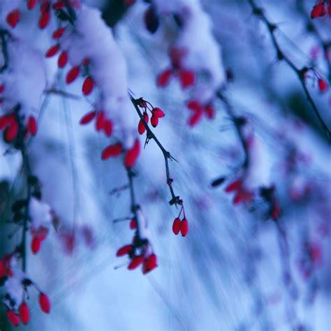 red winter berries  snow ipad wallpaper