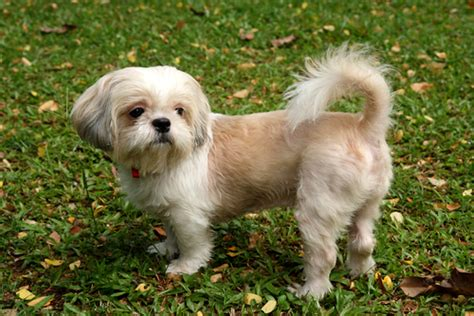 Shih Tzu Do They Shed by 5 Breeds To Consider For Small Homes Lipstiq