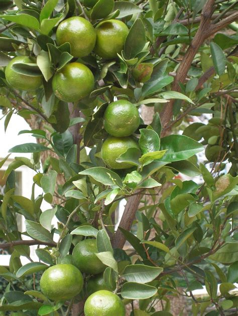 lime fruit trees lime tree tropical gardening