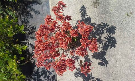 Acalypha Wilkesiana Blaze classic growers a division of cottage gardens inc