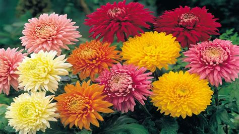 flowers chrysanthemum flowers