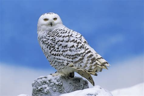 Jump Owl White snowy owl bubo scandiacus focusing on wildlife