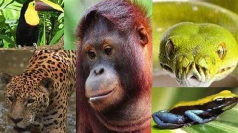 amazon rainforest animals amazon rainforest lungs of our planet