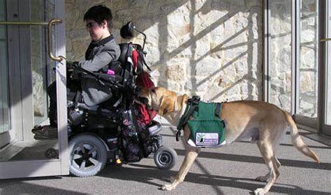 what are service dogs trained to do albany ny service puppy albany new york behavior