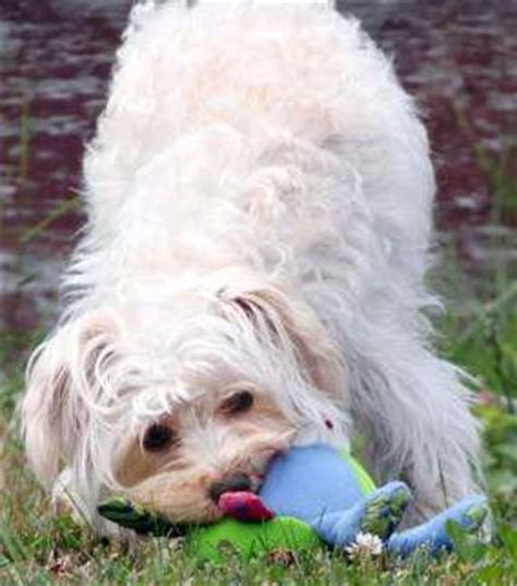 Does A Maltipoo Shed by Top 10 Most Asked Questions Why Maltipoo Dogs Do Things