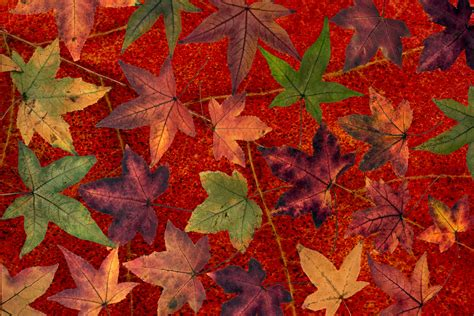 maple tree leaf arrangement renkli yaprak resimleri pictures free